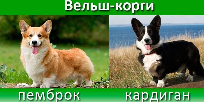 Характеристики і опис собаки породи коргі