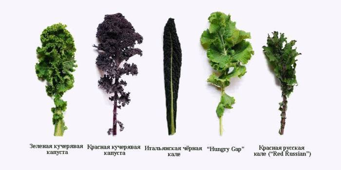 Корисні властивості листової капусти кале
