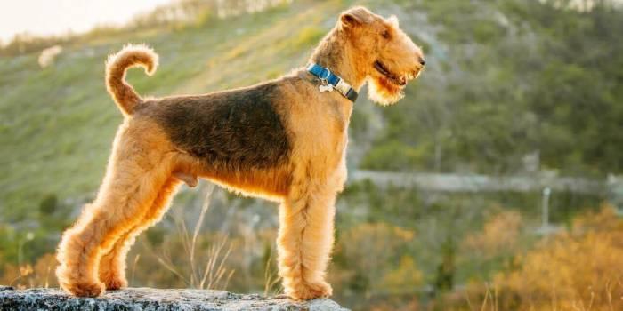 Кращі гіпоалергенні породи собак