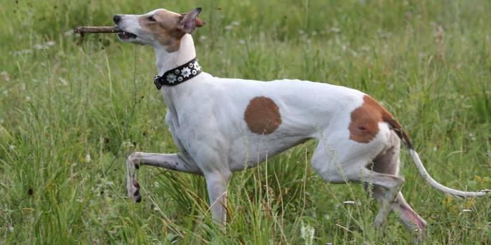 Кращі невибагливі породи собак підходять для квартири