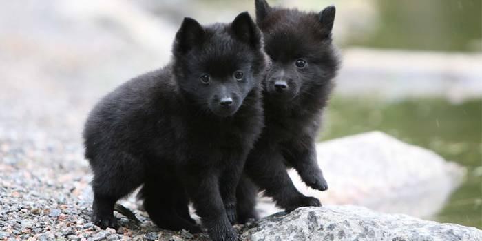 Породи маленьких собак, які будуть кращими компаньйонами