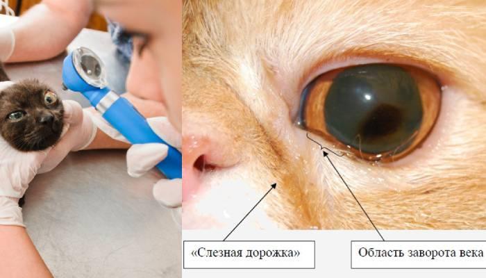Причини і лікування сльозотечі у котів