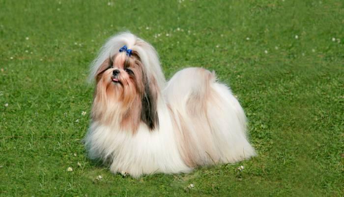 Рейтинг кращих порід собак, придатних для утримання в квартирі