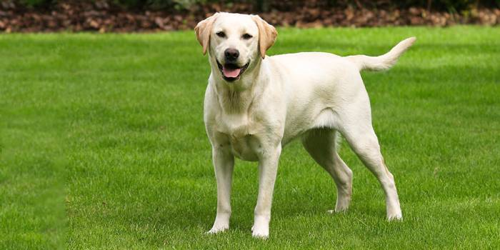 Рейтинг порід собак по інтелекту з фото