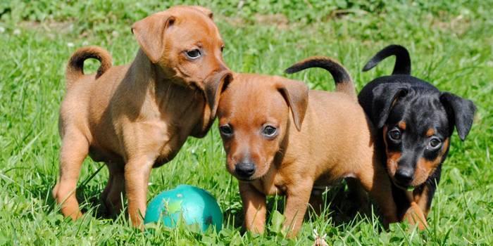 Як вибрати цуценя карликового пінчера та особливості собаки