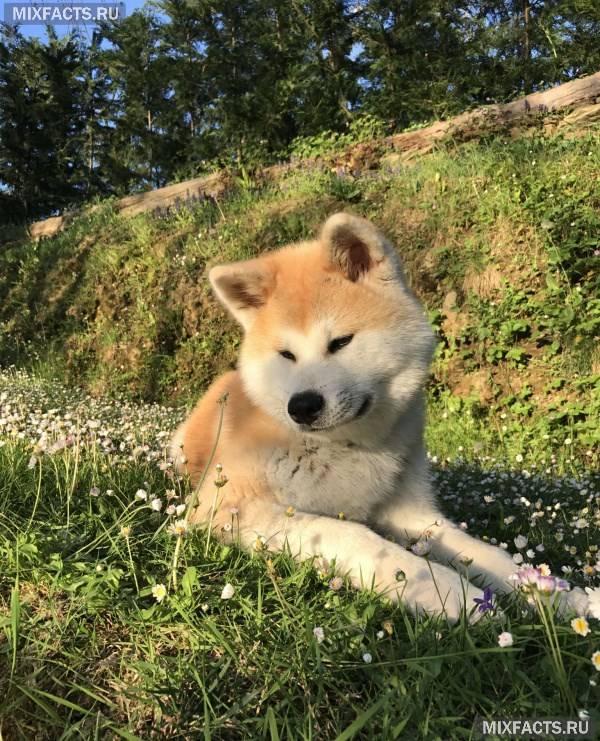 Японські породи собак іну – акіта і сіба