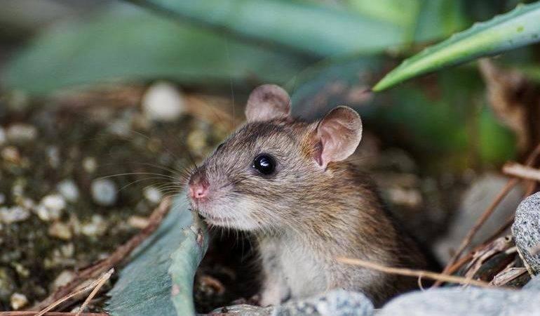 Сіра миша по соннику: до чого сниться бачити маленьку живу мишку у себе вдома і інші сюжети про грызуне