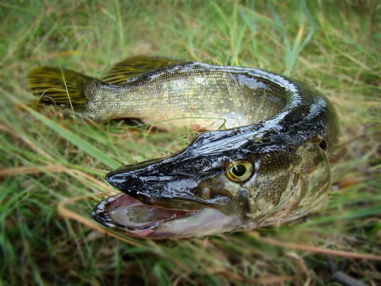 Значення по сонникам сну, де сниться щука: маленька й велика особина, риба в ополонці, ванні або басейні
